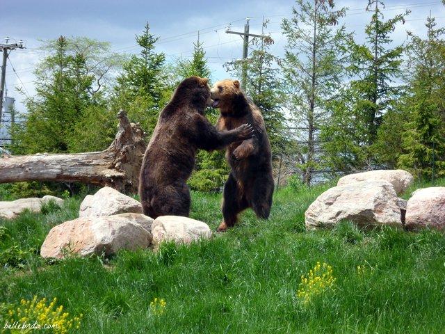 Bears playing at the Columbus Zoo | Belle Brita