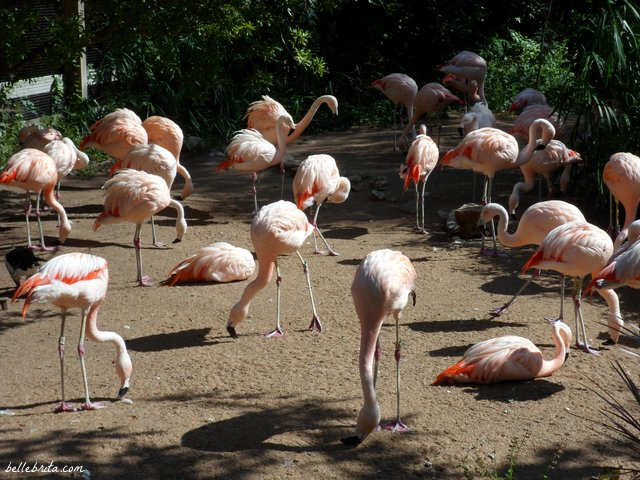 Pink flamingos at the Houston Zoo | Belle Brita
