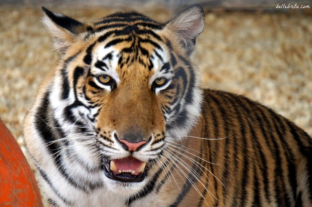 Tigers of India, Wild Adventures | Belle Brita
