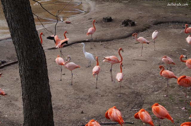 I loved the vibrant flamingos at the Dallas Zoo, which was included with my Dallas CityPASS | Belle Brita