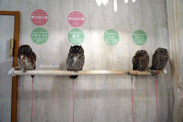 Four owls in Akiba Fukurou Owl Cafe