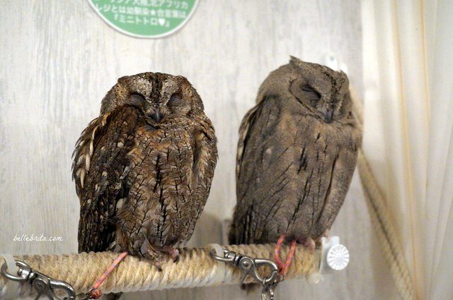 Two owls in Akiba Fukurou Owl Cafe