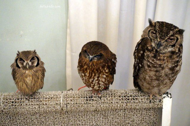 Three owls in Akiba Fukurou Owl Cafe