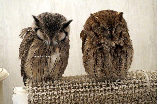 Two owls in Akiba Fukurou Owl Cafe